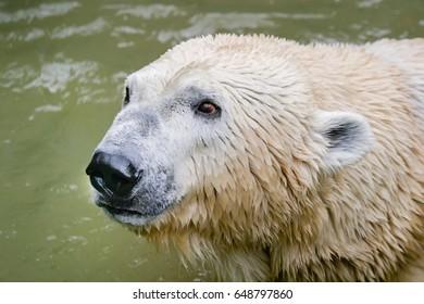 White polar bear. Portrait. Wet hair. Bathe, red eyes. Background light green.