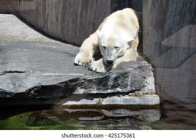 White polar bear resting on the rocks near the artificial pond.