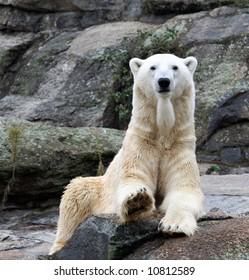 White polar bear sat on rock