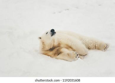 white polar bear in snow forest lying sleeping