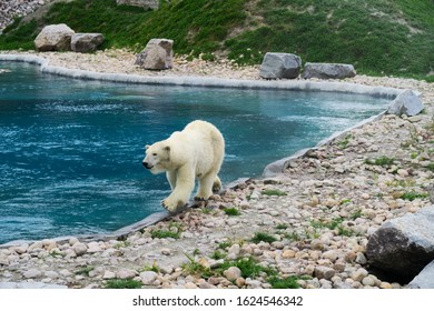 white-polar-bear-walking-along-260nw-162