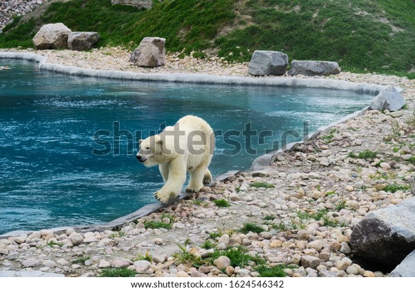 white-polar-bear-walking-along-600w-1624