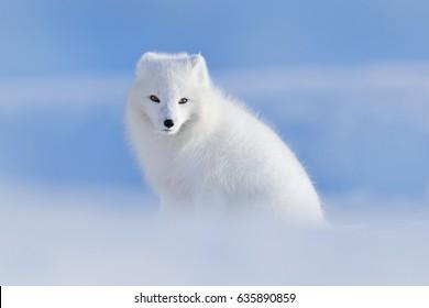 Bílá polární liška v prostředí, zimní krajina, Špicberky, Norsko. Krásné zvíře ve sněhu. Wildlife akční scéna z přírody, Vulpes lagopus, v přírodním prostředí.