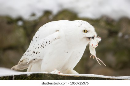 White (polar) owl eats the mouse. The snowy owl is a predator with yellow eyes and white feathers. it attacks both birds and rodents.