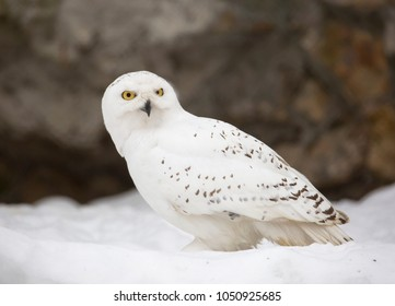 White (polar) owl. The snowy owl is a predator with yellow eyes and white feathers. it attacks both birds and rodents.