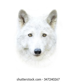 white polar wolf face isolated on white