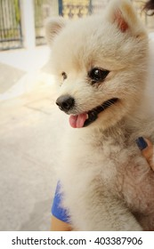 White pomeranian dog.