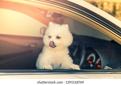 White Pomeranian dog looking out of the car window waiting for owner.
