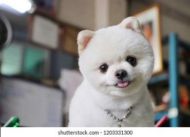 White Pomeranian dog smiling and blur background, Pomerania portrait.