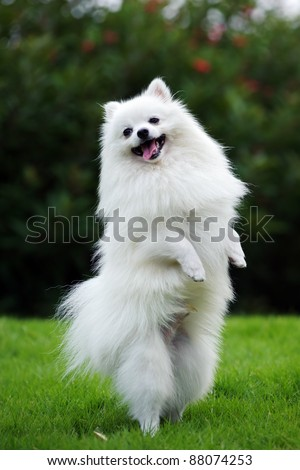 White Pomeranian Dog Standing On Hind Stock Photo Edit Now