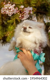 White pomeranian puppy in hanbok (Korean traditional dress) smelling the flowers.