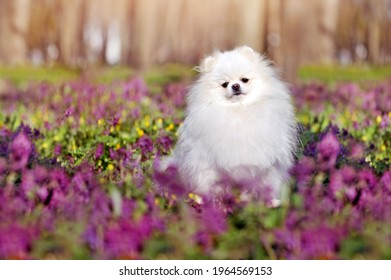 White pomeranian sitting at the wild flowers meadow