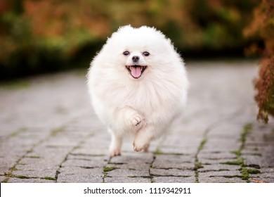 white pomeranian spitz adult dog running outdoor