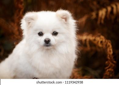 white pomeranian spitz adult dog outdoor in autumn