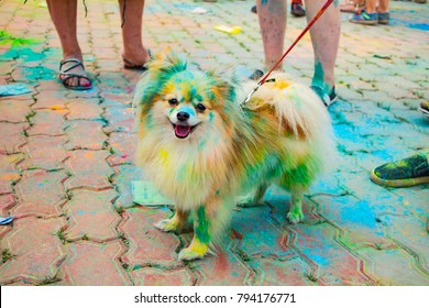 a white Pomeranian Spitz covered with colorful dyes on holi festival