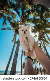 white pomeranian spitz on a background of coconut trees