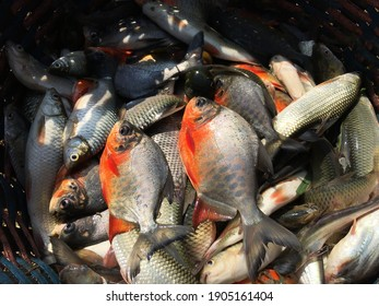 White pomfret fish and many more fish in the basket