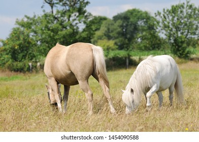 white pony and brown horse horse grazing on pasture