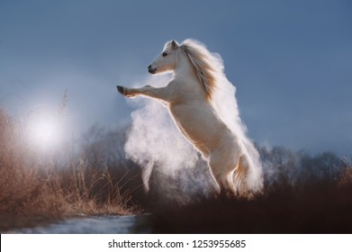White pony horse is standing on its hind legs on sunrise sunlight