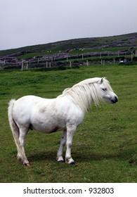 white pony stallion