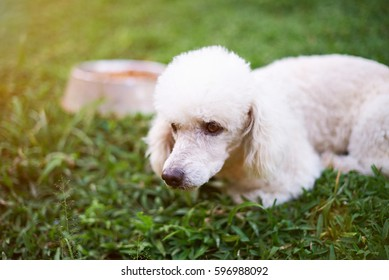 White poodle dog lay on green grass on food plate background. Dog after eating