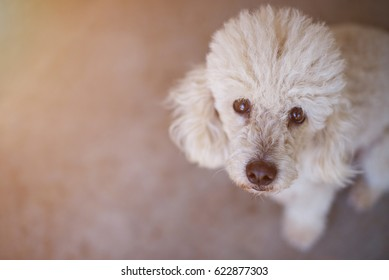 White poodle dog portrait view from top on gray background