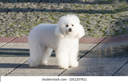 A white poodle dog posing for a photo