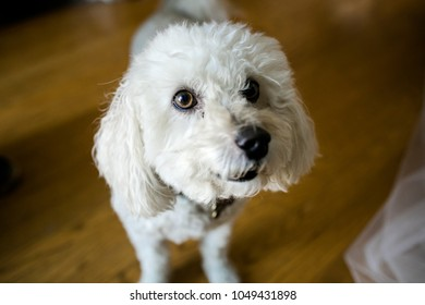 white  poodle dogs