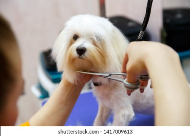 Poodle Cut Images Stock Photos Vectors Shutterstock