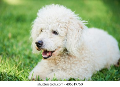 white poodle lay on green grass in park