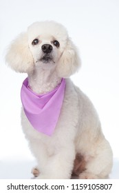 White poodle look up isolated on background