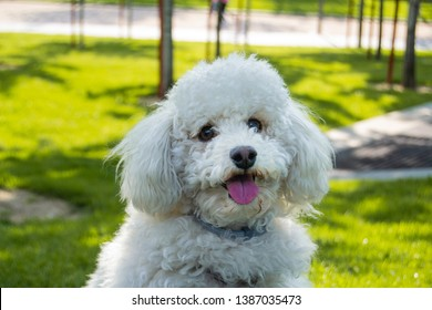 white poodle looking at the camera and sticking out his tongue