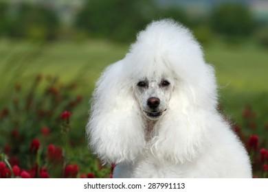 White poodle portrait