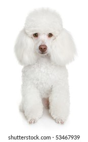 White poodle puppy. isolated on a white background