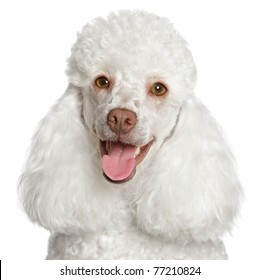 White poodle puppy smiles. Close-up portrait on a white background
