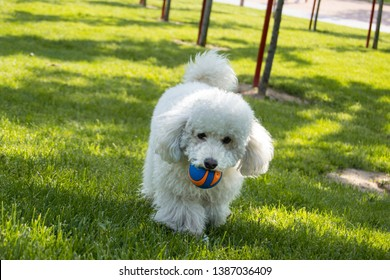 White poodle with a small colorful ball in its mouth