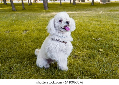 White poodle with tongue sticking out waiting for the ball to be thrown in a park