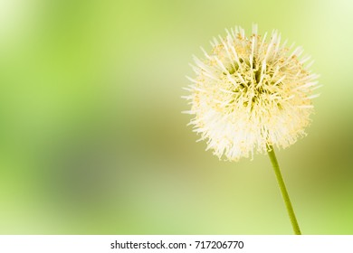 White Popinac flower isolated on green background with copy space