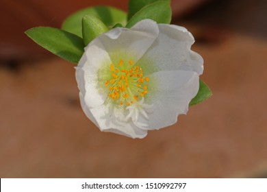 white portulaca flower a close relative of common purslane also called pursley, verdolaga, red root or pigweed Latin portulaca oleracea flowering in summer in Italy