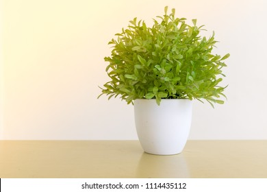 White pot with small tree Used for home decoration