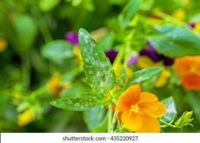 White powdery mildew  on the leaves of heartsease, close up, macro