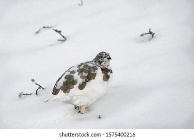 White Ptarmigan bird on snow in Canadian Rockies. Lake Louise area in Banff National Park. Alberta. Canada.