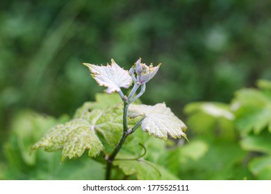 White pubescent young vine leaves in spring