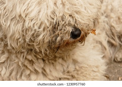White Puli Portrait. Puli is a small to medium Hungarian herding dog that looks like an old-timey floor mop