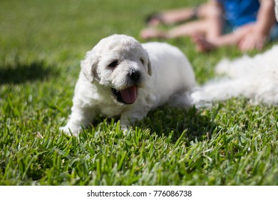 White Puli Puppies in the grass