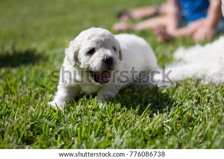 White Puli Puppies Grass Stock Photo Edit Now 776086738 Shutterstock