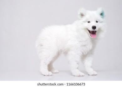 white puppie samoyed