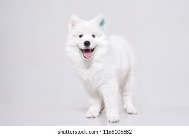 white puppie samoyed