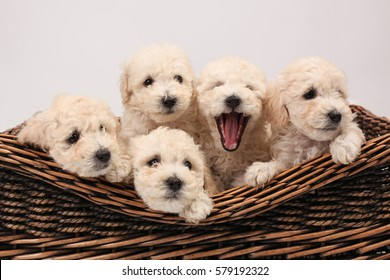 White puppies in a basket