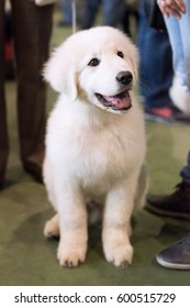 A white puppy is being happy surrounded by many people
